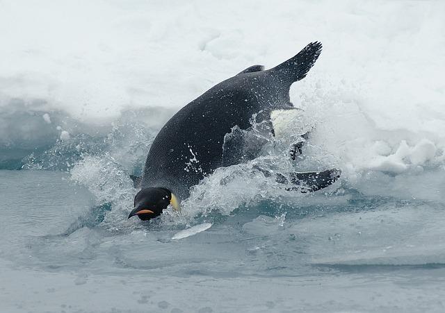 tučňák císařský.jpg