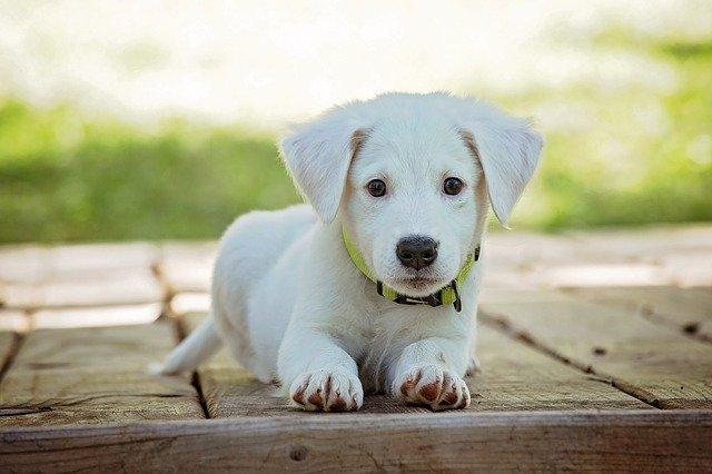 číhající štěně