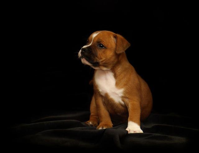 štěně stafordšírský bulteriér