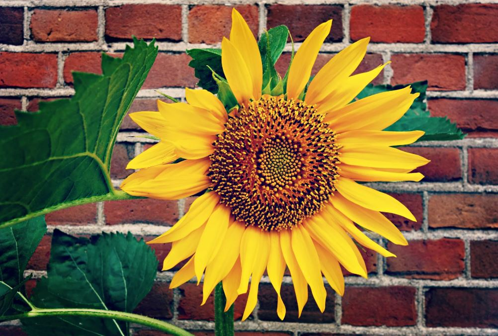 slunečnice před zdí